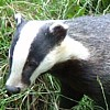 Badger Jigsaw